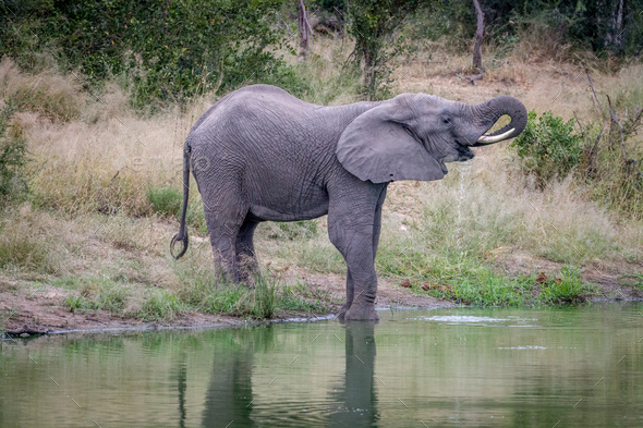 Elephant drinking water at a waterhole. - Stock Photo - Images