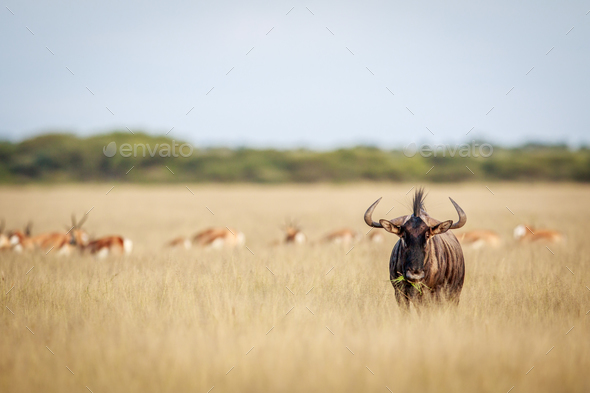 Blue wildebeest standing in the grass. - Stock Photo - Images