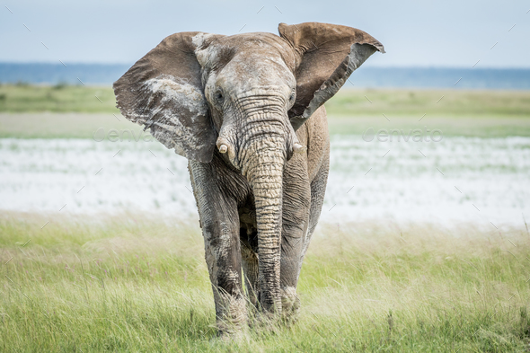Elephant bull walking towards the camera. - Stock Photo - Images