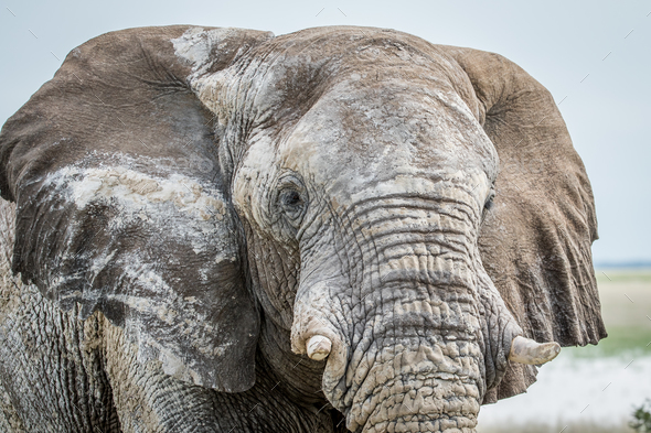 Close up of an Elephant bull. - Stock Photo - Images