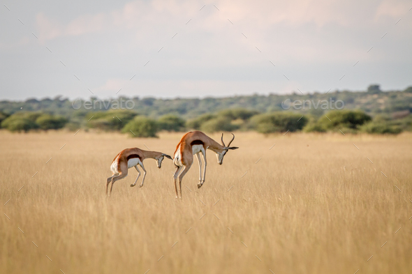Two Springboks pronking in the high grass. - Stock Photo - Images