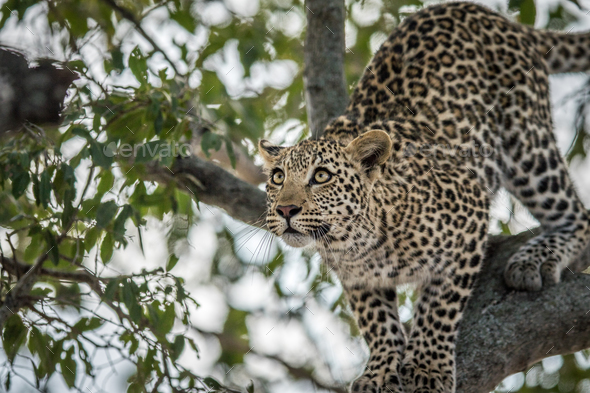Leopard getting ready to jump. - Stock Photo - Images