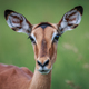 Female Impala starring at the camera. - PhotoDune Item for Sale
