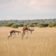 Two Springboks pronking in the high grass. - PhotoDune Item for Sale