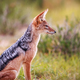 Black-backed jackal sitting in the grass. - PhotoDune Item for Sale