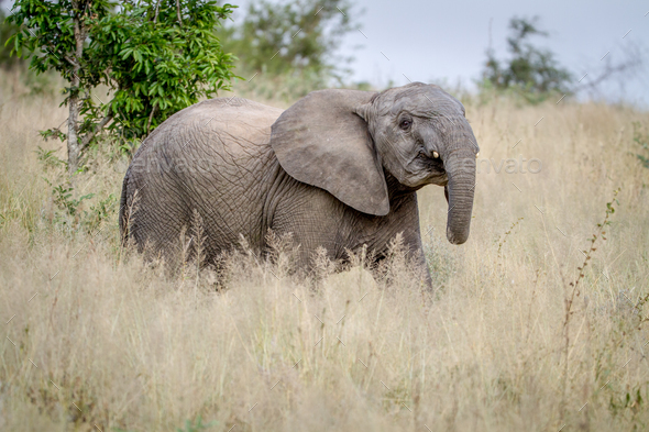 Elephant being cheeky in the grass. - Stock Photo - Images
