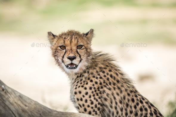 Young Cheetah standing in the Kalagadi. - Stock Photo - Images