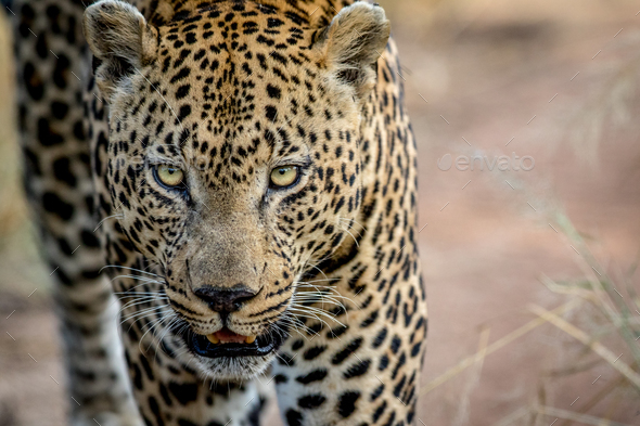 Leopard starring at the camera. - Stock Photo - Images