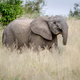 Elephant being cheeky in the grass. - PhotoDune Item for Sale