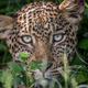 Leopard starring at the camera. - PhotoDune Item for Sale