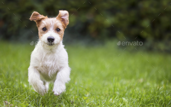 Jack russell happy pet dog puppy running in the grass - Stock Photo - Images