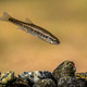 Eurasian minnow swimming in rocky creek - PhotoDune Item for Sale