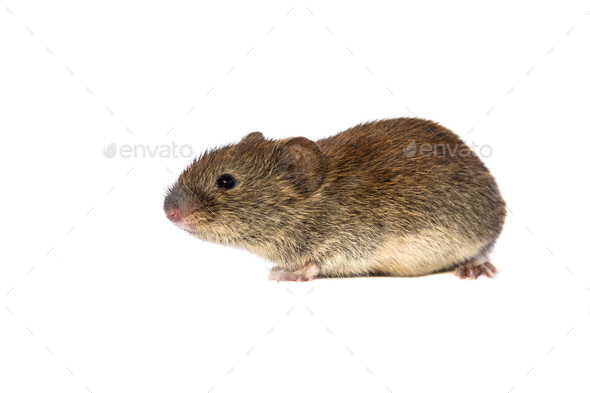 Bank vole on white background - Stock Photo - Images