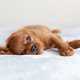 Small puppy relaxing on the bed - PhotoDune Item for Sale