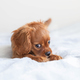 Funny puppy of cavalier spaniel relaxing - PhotoDune Item for Sale