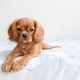 Cavalier spaniel puppy on the bed - PhotoDune Item for Sale