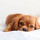 Cute cavalier spaniel relaxing - PhotoDune Item for Sale