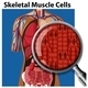 A Vector Of Skeletal Muscle Cells - GraphicRiver Item for Sale