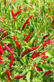 Fresh red chillies - PhotoDune Item for Sale