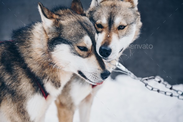 Siberian Husky dogs in snow winter forest in Finland, Lapland - Stock Photo - Images