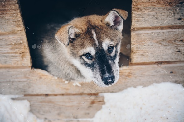 Siberian Husky puppy dog in snow winter Finland, Lapland - Stock Photo - Images