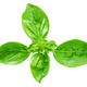 Leaf of basil isolated - PhotoDune Item for Sale