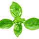 Leaf of basil isolated - PhotoDune Item for Sale