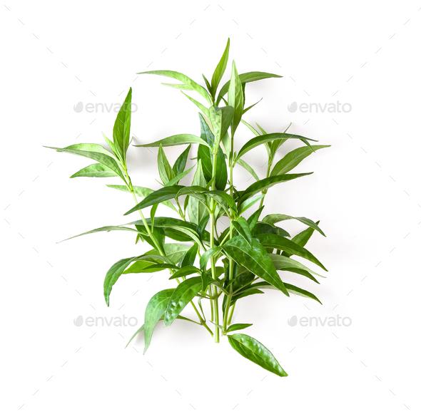 fresh kariyat herb plant on white background - Stock Photo - Images