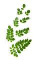 Moringa leaves have medicinal properties. top view - PhotoDune Item for Sale