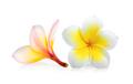 frangipani isolated on white background - PhotoDune Item for Sale