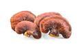 Lingzhi Mushroom Isolated on white background - PhotoDune Item for Sale