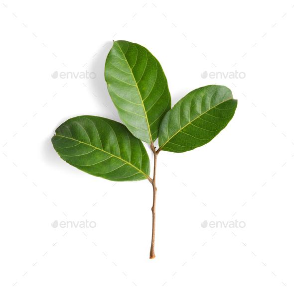 leaf on white background - Stock Photo - Images