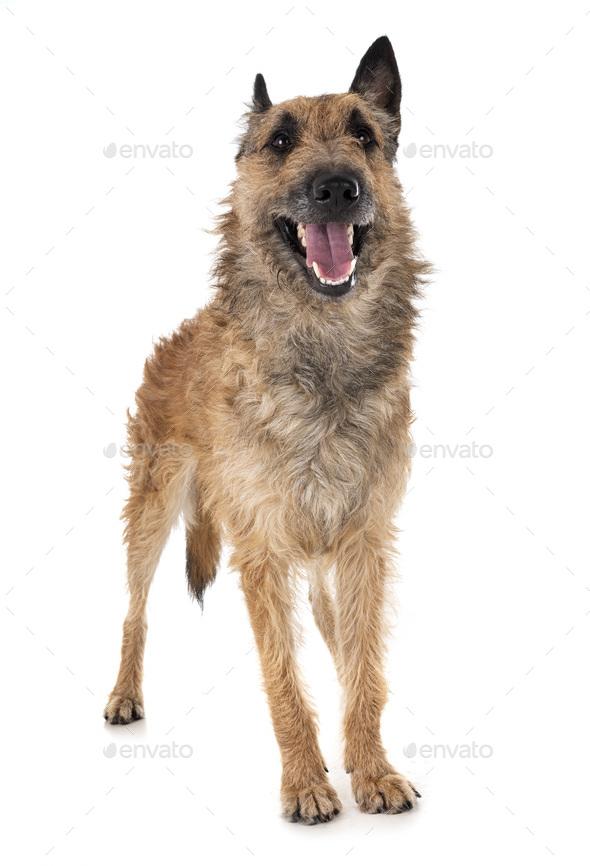 belgian shepherd laekenois - Stock Photo - Images