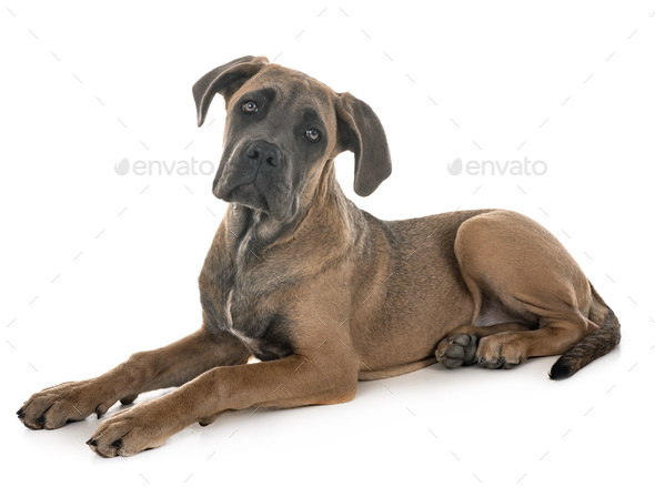 puppy italian mastiff - Stock Photo - Images