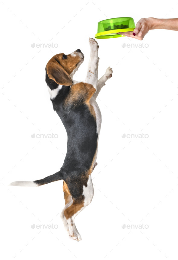 puppy beagle eating - Stock Photo - Images