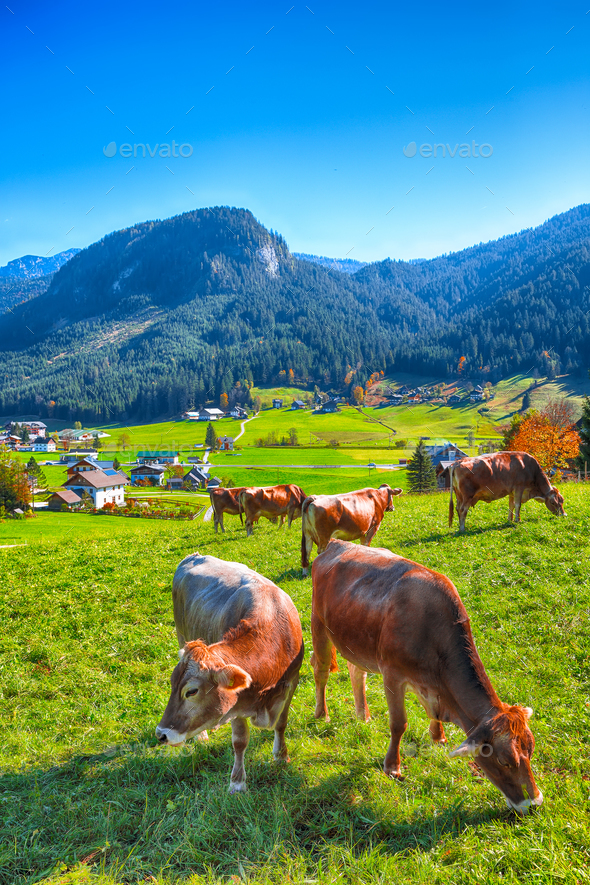Alpine green fields and cows at meadows near Gosau village at au - Stock Photo - Images