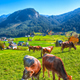 Alpine green fields and cows at meadows near Gosau village at au - PhotoDune Item for Sale