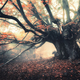 Old magical tree with big branches and orange leaves in fog - PhotoDune Item for Sale
