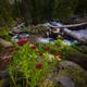 Wild Mountain flowers East Fork Dallas Creek Mt. Sneffels Wilder - PhotoDune Item for Sale