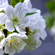 Flowers of the cherry blossoms on a spring day. - PhotoDune Item for Sale