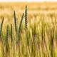 Summer background golden wheat ears in sunlight - PhotoDune Item for Sale