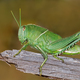 Garden locust on branch - PhotoDune Item for Sale