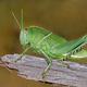 Garden locust on branch - PhotoDune Item for Sale