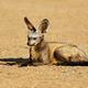 Bat-eared fox in natural habitat - PhotoDune Item for Sale