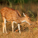 Female spotted deer - PhotoDune Item for Sale