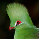 Green turaco portrait - PhotoDune Item for Sale