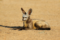 Bat-eared fox in natural habitat - PhotoDune Item for Sale
