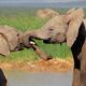 African elephants play fighting - PhotoDune Item for Sale