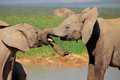 African elephants play fighting - PhotoDune Item for Sale