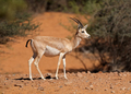 Arabian sand gazelle - PhotoDune Item for Sale